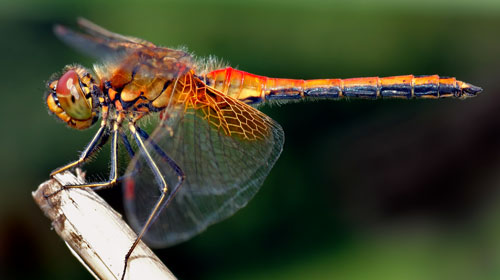 dragonfly Top 10 Short lived Creatures