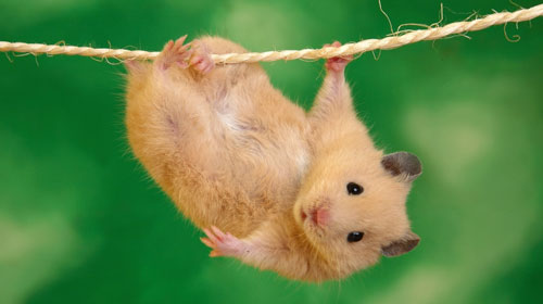 hamster Top 10 Short lived Creatures