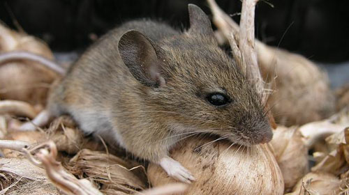 mice Top 10 Short lived Creatures