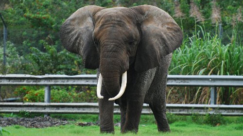 northafricanelephant2 North African Elephant