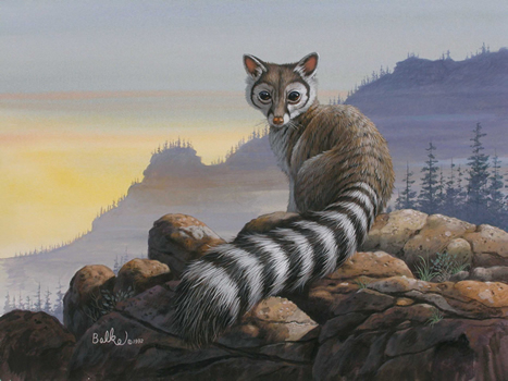 ring tailed cat  family