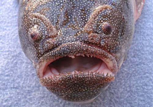 Coffinfish are bottom-dwelling fishes found on the continental  slopes of the Atlantic, Indian and Pacific Oceans, at depths of up to  2,000 metres (6,600 ft).
