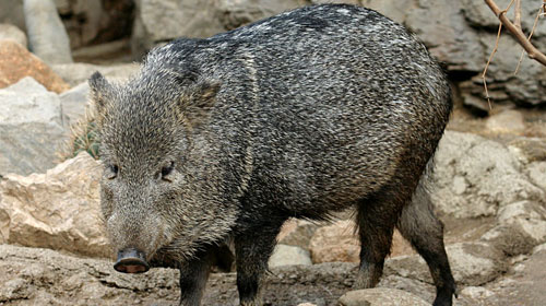 collaredpeccary 10 Elusive American Animals