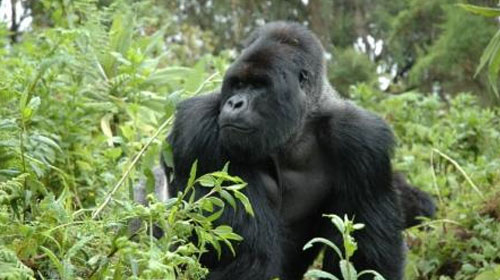 gorilla1 9 Animals That Saved Human Lives