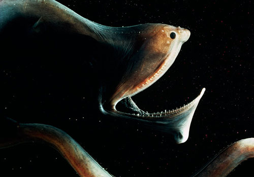 Due to the gulper eel's specialised body shape, it is a poor  swimmer and relies on the luminescent organ at the tip of its tail to  attract prey.