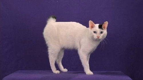 japanesebobtail 10 Strange Breeds of Cat