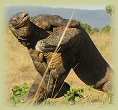 Komodo dragons wrestling with each other
