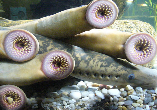 A lamprey is a parasitic marine/aquatic animal with a toothed,  funnel-like sucking mouth. Translated directly, their name means stone  lickers.