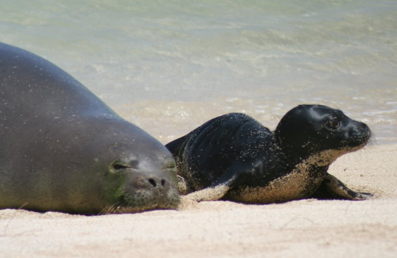 monk seal pup Hawaiian Monk Seal