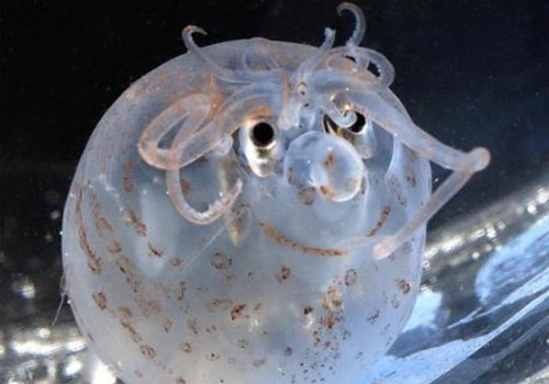 The Piglet Squid, Helicocranchia pfefferi, is about the size of an  orange, it was named because of its tuft of bristle-like arms and  tentacles and rotund shape, is normally found more than 320 feet (100m)  below the surface of the ocean.