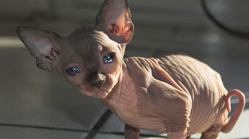 sphynx 10 Strange Breeds of Cat