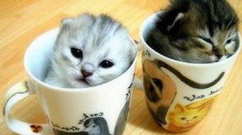 teacup persians 10 Strange Breeds of Cat