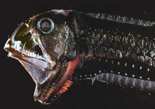 A viperfish is a deepwater fish in the genus Chauliodus, with long,  needle-like teeth and hinged lower jaws. They grow to lengths of 30 to  60 cm (12 - 24 inches).