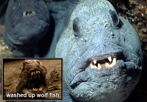 """A face not even a mother could love"" The Atlantic  Wolffish, also known as the Seawolf, Atlantic catfish, ocean catfish,  wolf eel, or sea cat, is a marine fish, the largest of the wolffish  family Anarhichadidae."