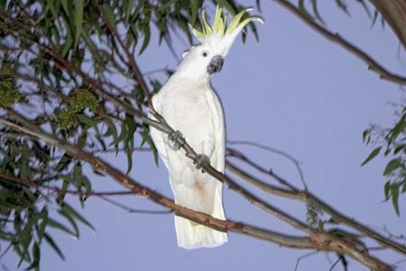 0C065E09 E2DB 4989 851E 251305FB3057 Sulfur crested Cockatoo
