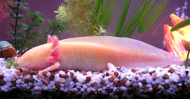 The axolotl is the best known of the Mexican neotenic mole  salamanders. Larvae of this species fail to undergo metamorphosis, so  the adults remain aquatic and gilled. Axolotls are used extensively in  scientific research due to their ability to regenerate most body parts.