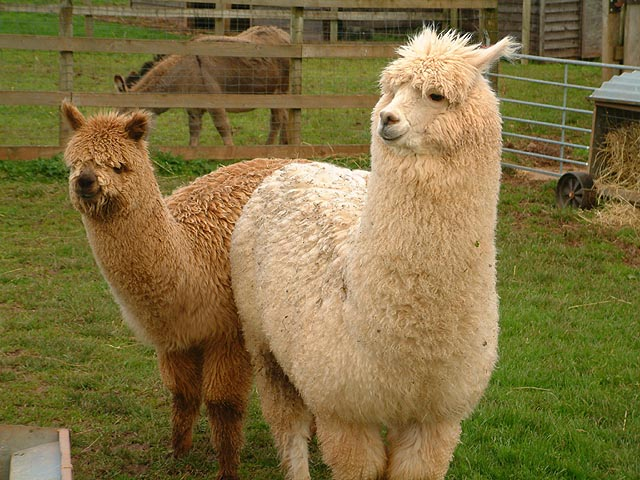 Thread  Alpaca and LLa...