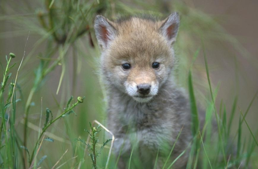coyote pup1 Coyote