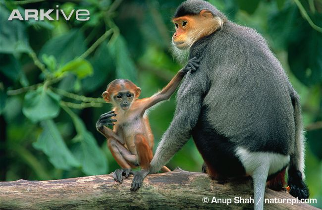 photo Douc Langur