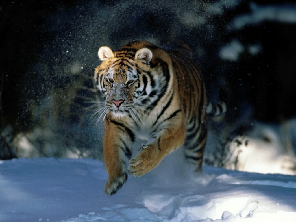 siberian tiger – panthera tigris altaica - moderately endangered