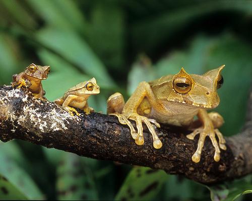 3534364133 0a3d1fd498 Marsupial Treefrogs