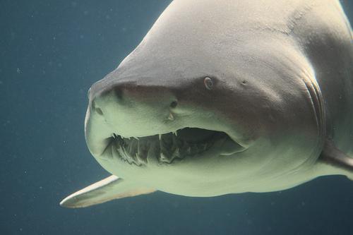 3887498005 864db66172 Longfin Mako Shark
