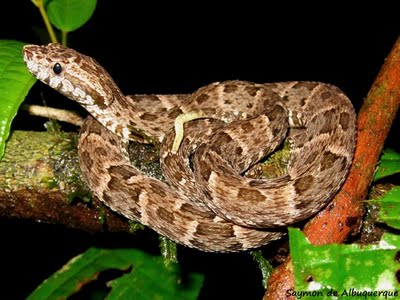 Common Lancehead Bothrops atrox - In The Air
