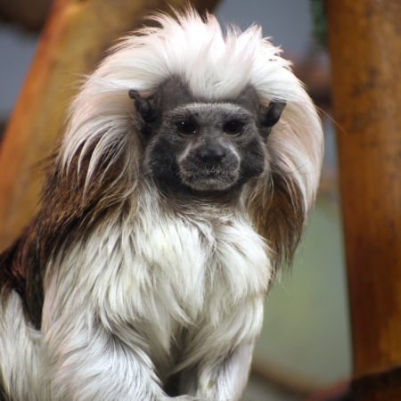 Cotton top tamarin 450x450o Cottontop Tamarin