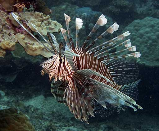 Pterois volitans3 Red Lionfish