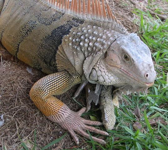 medium Common Iguana
