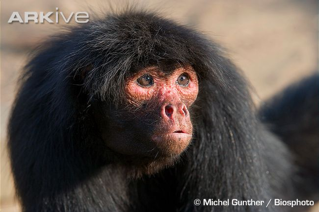 photo1 Black Spider Monkey