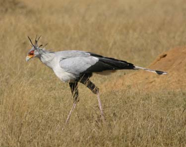 Secretarybird  Sagittarius serpentarius - Birds