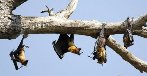 seksparni 300x157 Indian Flying fox