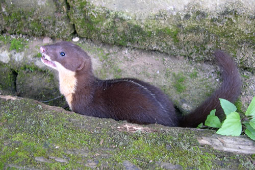 010490020 1 Back Striped Weasel