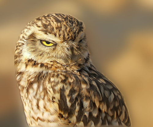 154171735 d9883409dc Burrowing Owl