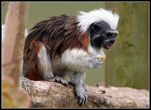 2289534546 d6daa70fdb Cotton Top Tamarin