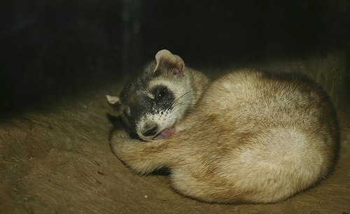 3320677409 bb4ac8ce6a Black footed ferret
