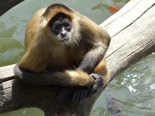 4540588346 4413a6e867 Geoffroys Spider Monkey