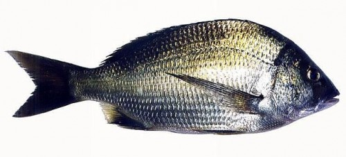 Acbut u2 e1278513795591 Southern Black Bream