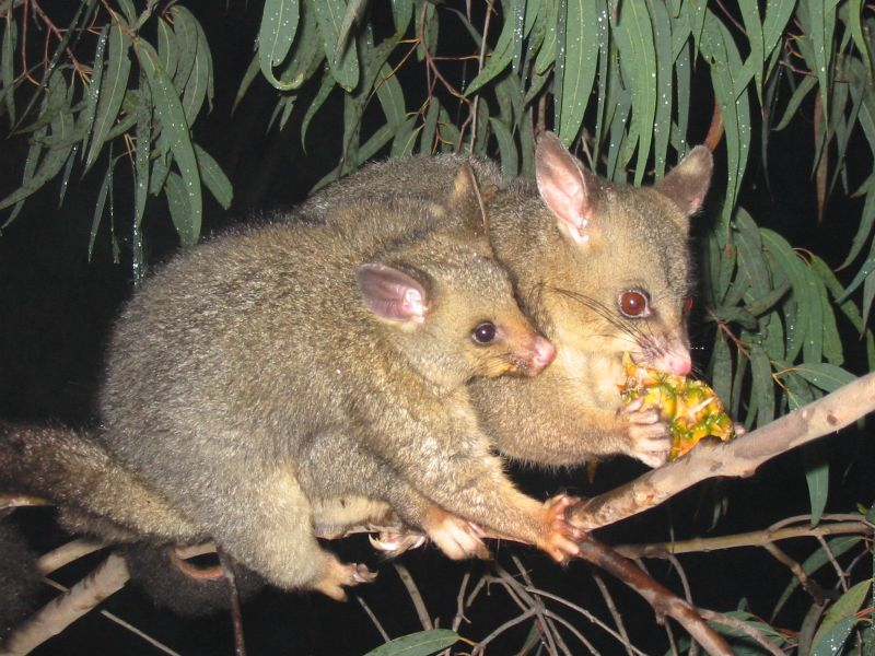 Brushtail possum Brushtail Possum