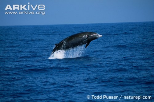 Cuviers beaked whale breaching e1278074076526 Curviers Beaked Whale