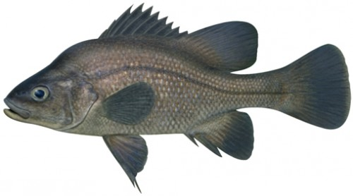 Macquarie perch e1280135965655 Macquarie Perch