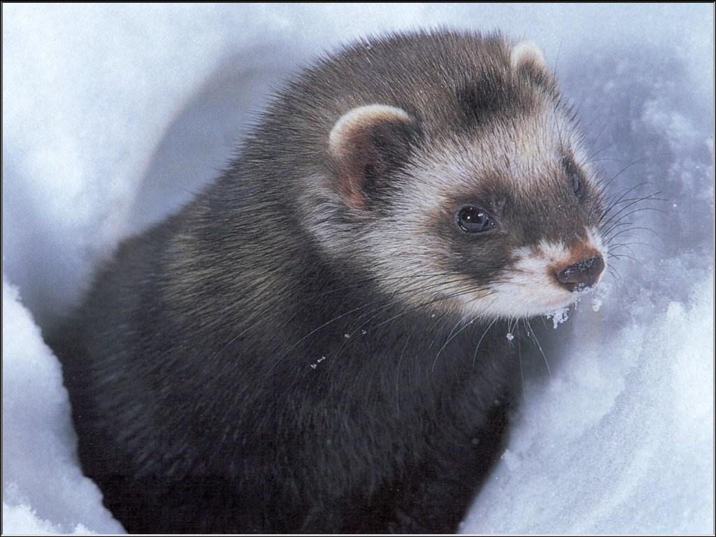 European Polecat – Mustela putorius - Ground Mammals