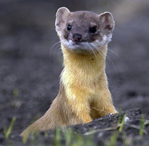 Long-tailed Weasel ��� Mustela frenata - Ground Mammals