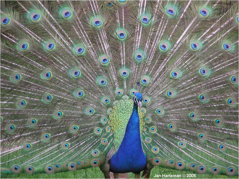 indian peafowl photos and - photo #3