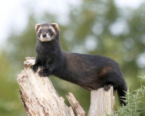 European Polecat Mustela Putorius Ground Mammals