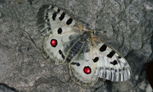 taurenis Apollo Butterfly