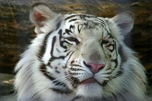 3641674749 e895d3e2a0 White Tiger
