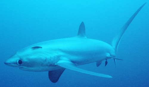 758 e1281502080566 Thresher Shark