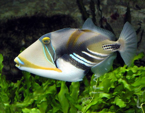762px Picasso.triggerfish.arp  e1280937251464 Triggerfish